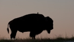 Bison silhouetted with bird on back