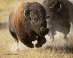 Bison runs away from rival