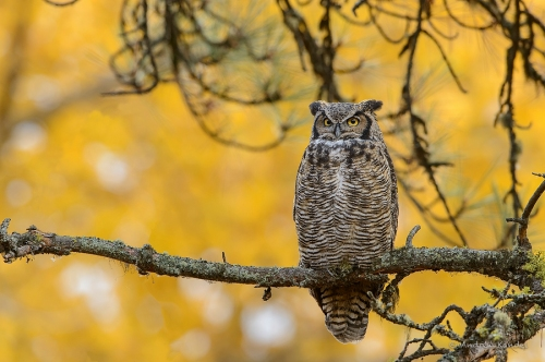 Great Horned Owl in Fall Colors