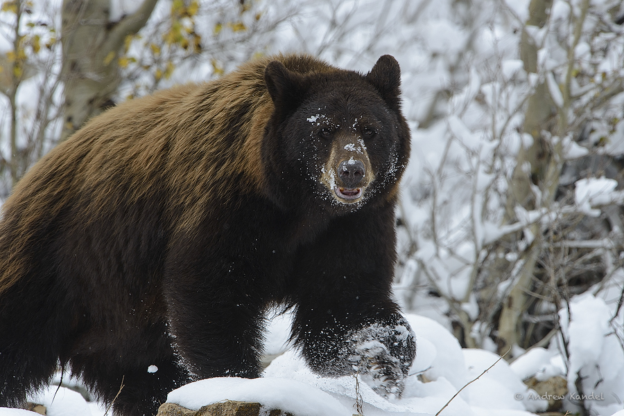 Black Bear In Snow Images amp Pictures Becuo