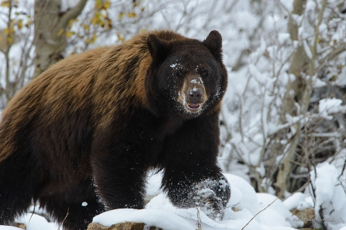 Black Bear Sow in Snow