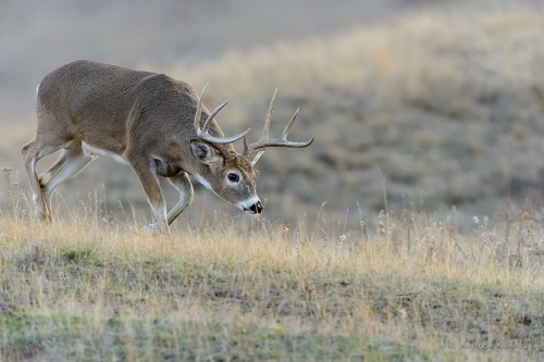 Rushing Whitetail Buck