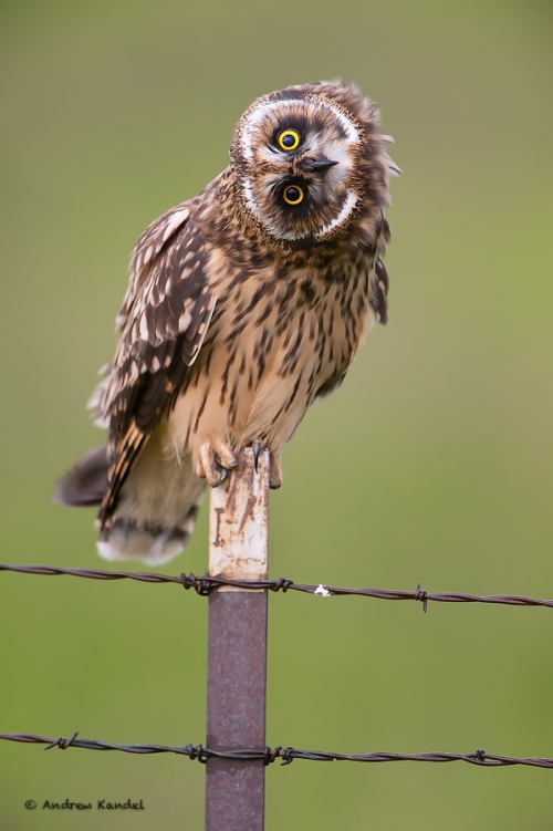 Short-eared Owl Head Tilt
