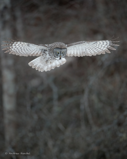 A great gray owl (Strix nebulas) prepares to swoop down on an unsuspecting meadow vole, Missoula, Montana