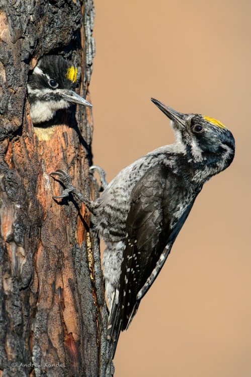 Three-toed Woodpeckers (Picoides tridactylus), Lolo National Forest, Montana