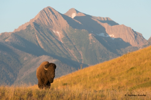 A bull bison (Bos bison) in front of the Mission Mountains range, National Bison Range, Montana