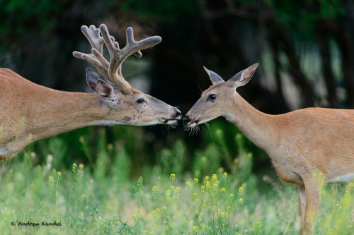 An uncommon mid-Summer enounter between a white-tailed buck and doe (Odocoileus virginianus), Missoula, Montana