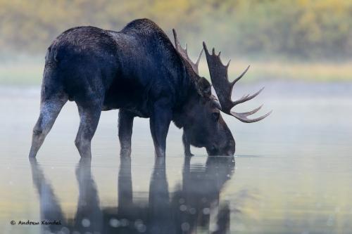 Bull Moose