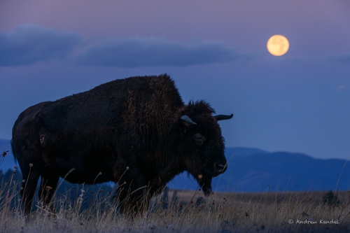 Bison with a Full Moon