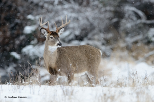 White-tailed Buck in Snow Fall