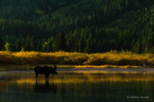 Silhouetted Bull Moose (Alces americanus), Northern Rockies